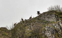 Vultures on the cliffs above