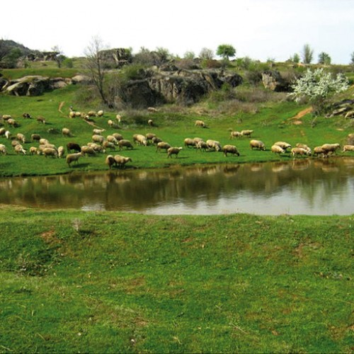 Sheep grazing by the lake in Mariovo